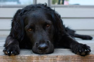 image-black-dog-reclining-black-dogs