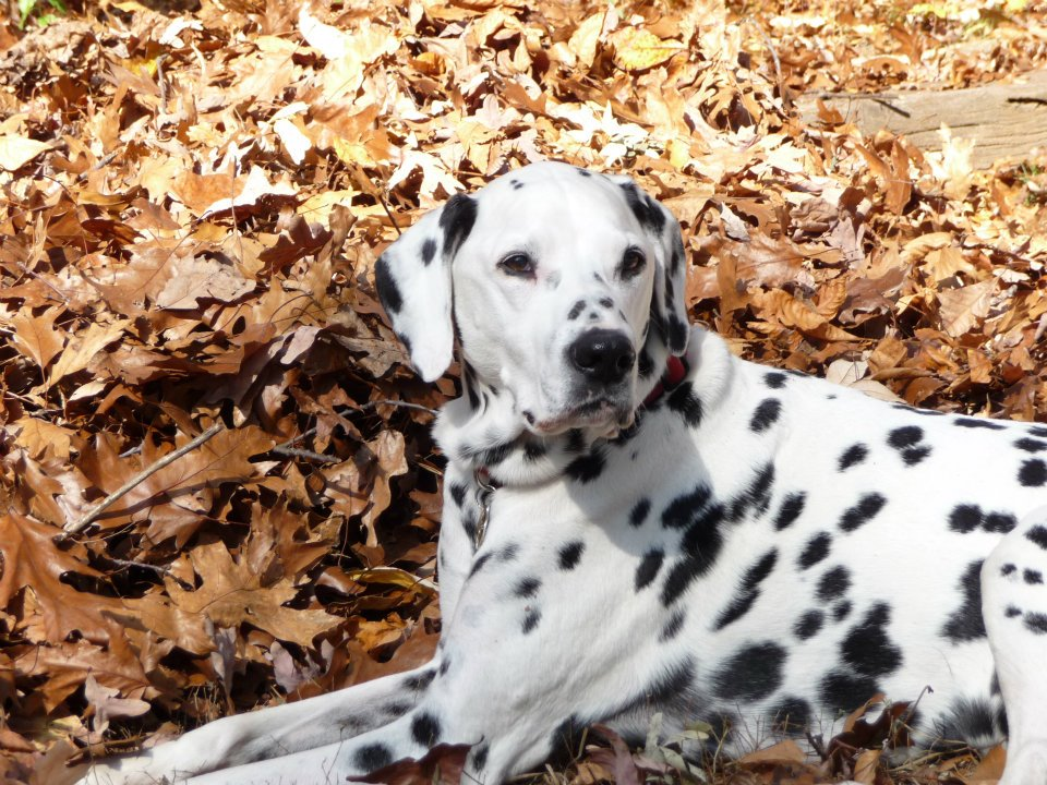 lucky - in pile of leaves