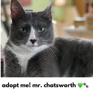 Adopt Mr. Chatsworth!